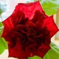 Erika's hibiscus