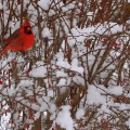 cardinal in the snowy branches
