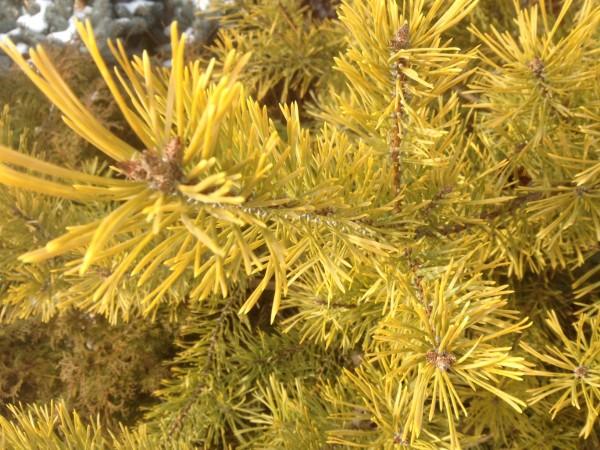 Pinus sylvestris Aurea Group Feb 1, 2013