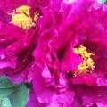 Paeonia suffruticosa Herb Garden