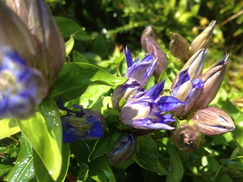 Gentiana makinoi 'Royal Blue'