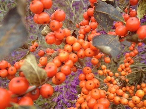 Ilex verticillata orange berries