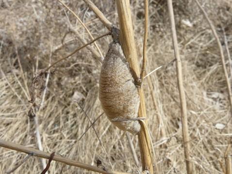 Egg case of praying mantis.
