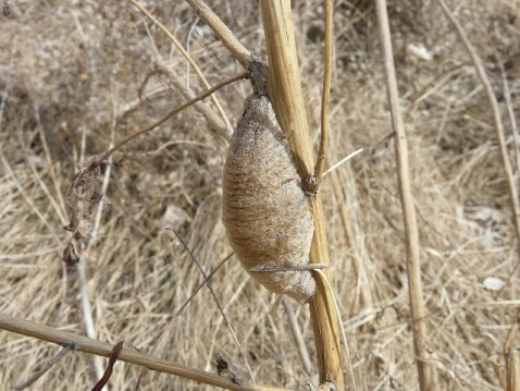 Egg case of praying mantis.