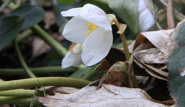 helleborus flowering from under the leaves