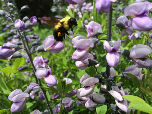 Baptisia 'Purple Smoke' with Bee