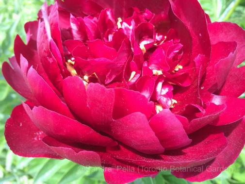 Paeonia lactiflora 'Buckeye Belle'