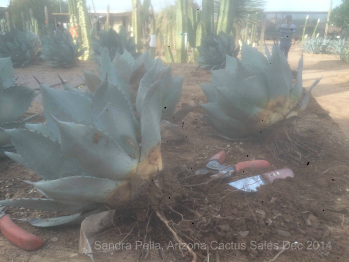 root-pruning Agave parryi v. huachucensis