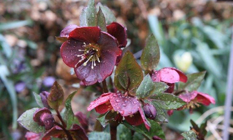 Plant Sale 2015 Annas Red hellebore credit Paul Zammit