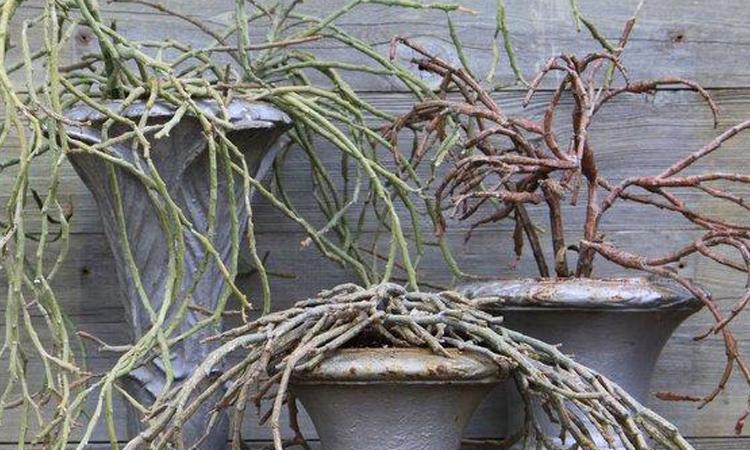 Plant Sale 2015 Euphorbia platyclada credit Paul Zammit