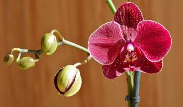 Orchid flower illustrating zygomorphic shape