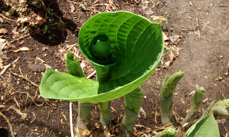 hosta leaf unfurling in a spiral