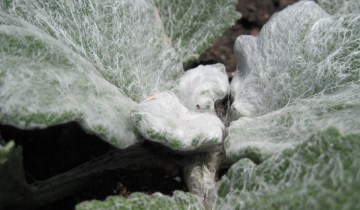 Close up of young Salvia argentea leaves showing lanate hair growth.