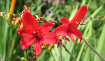 Crocosmia bloom showing stigma