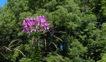 Cleome flower showing siliques formed along the stem.