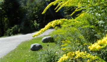 goldenrod inflorescence showing secund arrangement of flowers