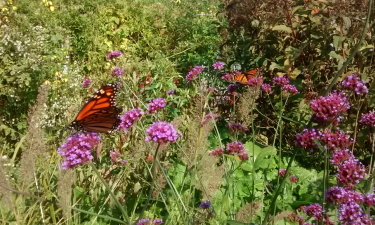 Monarch butterflies feeding on flowers in the Entry Garden Walk at TBG