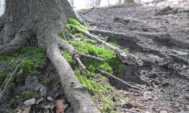 Moss growing around tree roots in a forest
