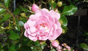 Pink rose bloom showing double flower.