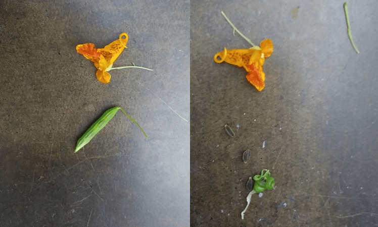 Impatiens capensis pod before and after explosion