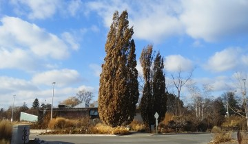 Columnar oak showing fastigiate growth form