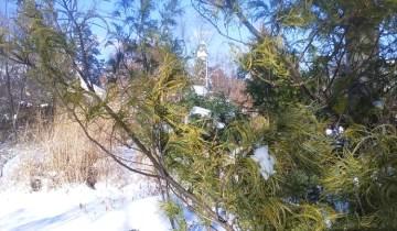 Pinus strobus 'Contorta'