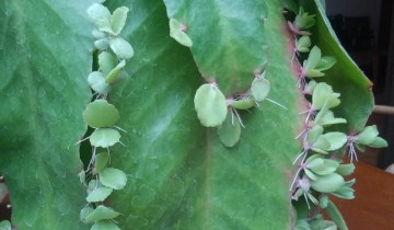 Kalanchoe with plantlets growing on its leaves