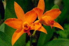 On display were plenty of smaller sized orchids, such as these orange ones.