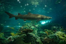 Sharks in the 'Dangerous Lagoon' can be found surrounding the aquarium.