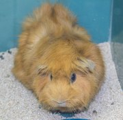 """A guinea pig, named Shirley, for sale. A good """"starter"""" pet according to Derrick Cuber at Muddy Paws in the Guild"""