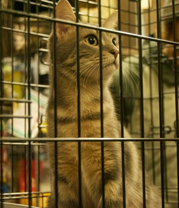 """Annabelle, called the """"Star of the Show,"""" gazes at the crowd during the Toronto Cat Rescue's Adopt-a-Thon."""
