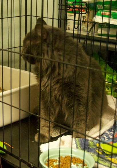 Tony, a grey male cat, is dropped off by his foster family.