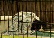 Aurora, another female kitten, sits in her cage waiting to be adopted.