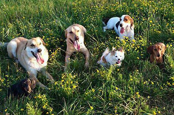 Pack walk dogs, from left, Molly, Koda, Kash, Lyo, Watson and Frankie