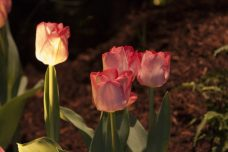 Display lights illuminate a small group of pink flowers.