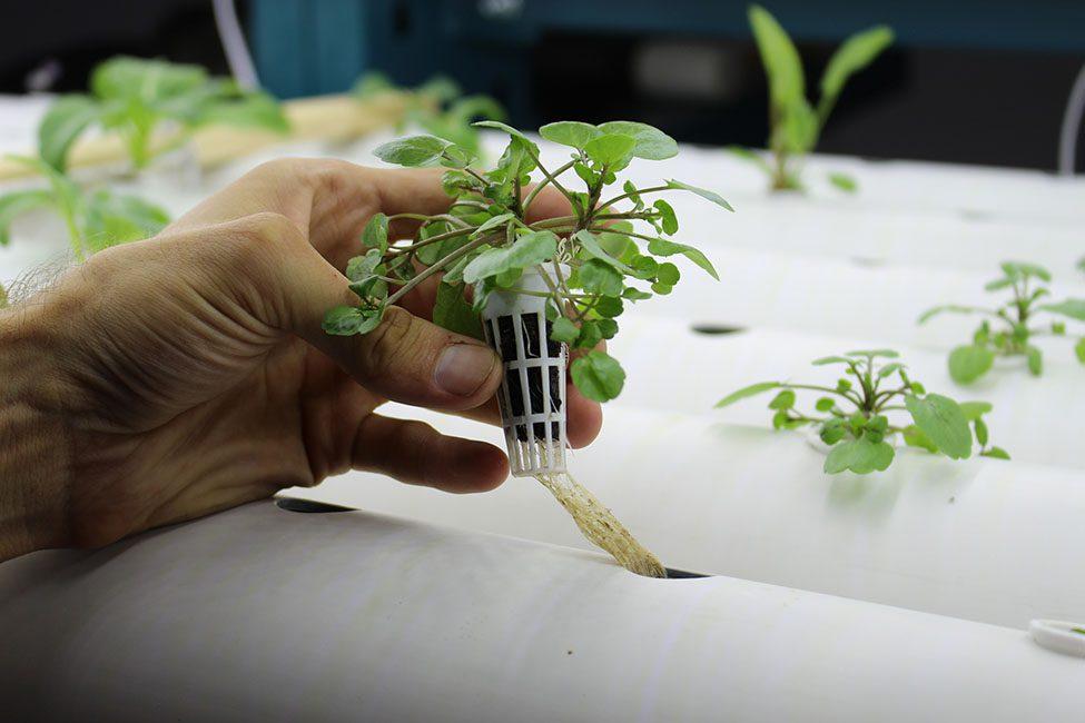 Lettuce growing in water