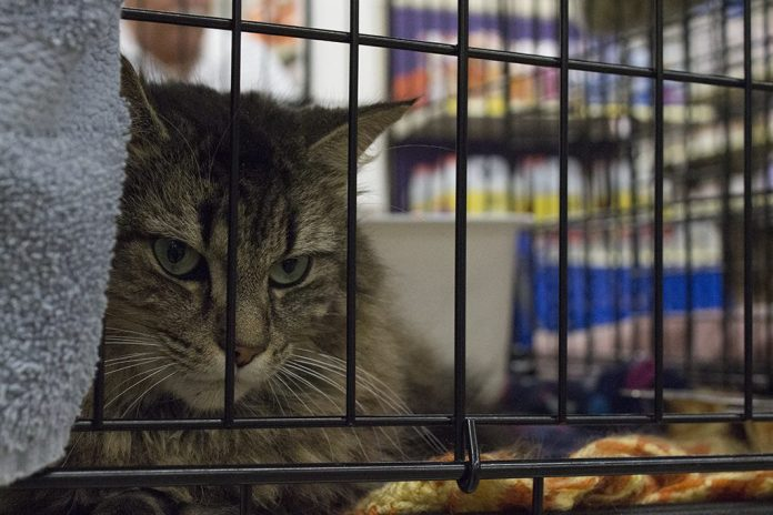 Felicia, a long haired domestic cat ,waits for her new owner Rose Godin.