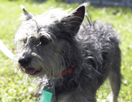 Rowdy is a four-year old Yorkshire Terrier Mix.
