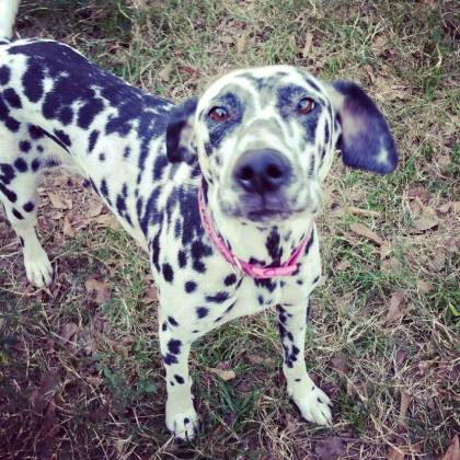 Hailey is a four-year old Dalmatian.
