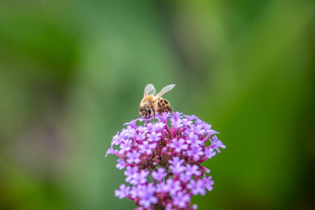 Honeybee at Toronto Botanical Garden