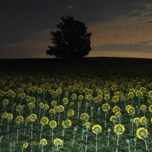 davis-sunflowers-02