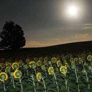 davis-sunflowers-07