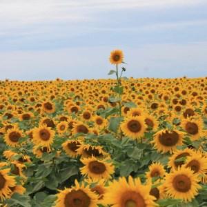 davis-sunflowers-09