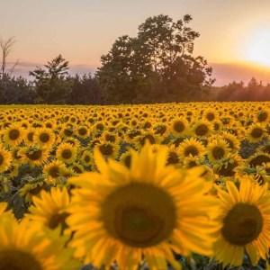 davis-sunflowers-10