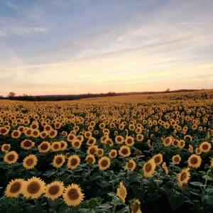 davis-sunflowers-20