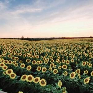 davis-sunflowers-24