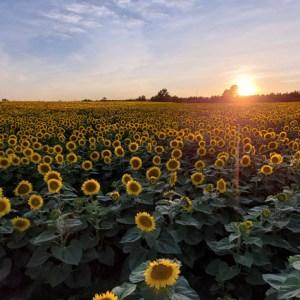 davis-sunflowers-30