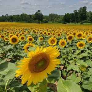 davis-sunflowers-36