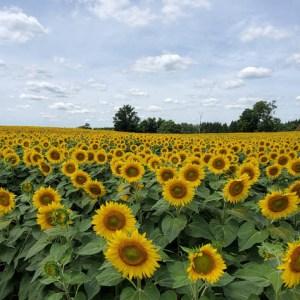 davis-sunflowers-38