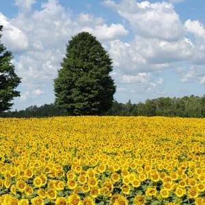 davis-sunflowers-39